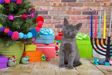 One fluffy gray kitten sitting on a wood floor, Miniature Christmas tree on viewers left with menorah on the right. Pop-culture combination of Christmas and Hanukkah. Chrismukkah.
