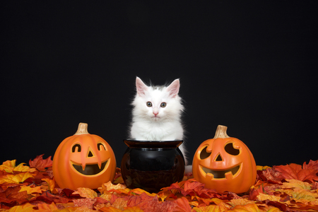 One fluffy white kitten sitting behind a black cauldron with jack o lanterns on both sides surrounded by fall autum leaves, black background. Imagens