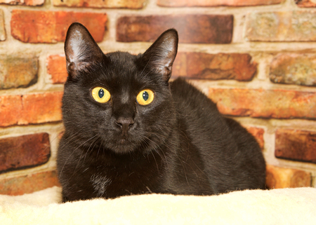 portrait of one black cat with golden yellow eyes crouched down on a sheepskin bed looking to viewers right, brick wall background. Banque d'images - 116447004