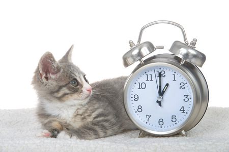 Gray and white kitten laying on sheepskin blanket next to a clock set for 1 o'clock. One AM daylight savings begins and ends. Spring forward, Fall back. Kitty looking at the clock. Фото со стока