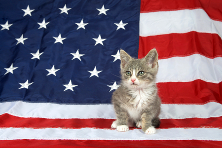 One small gray and white tabby kitten sitting on the American flag looking to viewers left. Patriotic kitty.