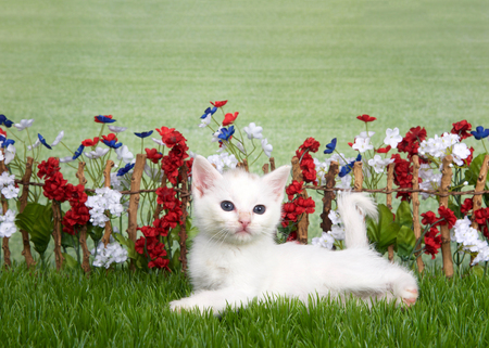 Small medium haired white kitten with light brown spot on top of head laying in green grass  in front of stick fence with red, white, blue flowers, green grassy field in background. Looking to right