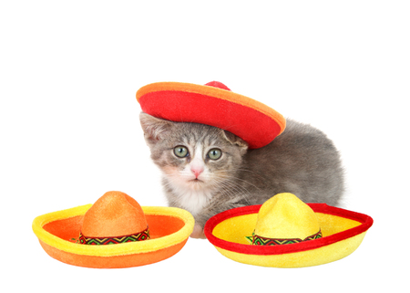 Cinco de Mayo kitten, gray and white tabby wearing a Mexican sombrero, crouched down behind two bright festive sombreros isolated on white background. Fun holiday theme with animals