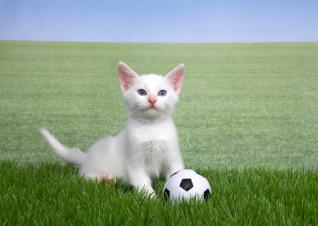 One white kitten with a miniature soccer ball playing in green grass, field of grass behind to skyline. Fun sports theme with animals. Stock Photo