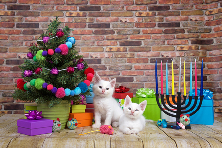 Two white kittens sitting on a wood floor, Miniature Christmas tree on viewers left with menorah on the right. Pop-culture combination of Christmas and Hanukkah. Chrismukkah.