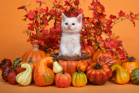 Small white kitten standing in an orange pumpkin shaped basket surrounded by gourds pumpkins and squash with fall leaves and orange background. Fun fall harvest theme.