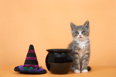One small gray and white tabby kitten sitting next to black cauldron and witches hate on an orange background 免版税图像