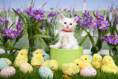 One fluffy white kitten standing in a green planter bowl up away from fuzzy yellow chicks and easter eggs in green grass, white picket fence background with tall purple flowers, blue sky behind.