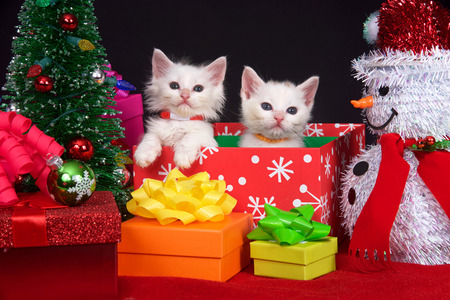 Two fluffy white kittens sitting in a holiday box next to tiny Christmas tree surrounded by brightly colored presents with bows, looking directly at viewer.