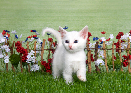 Small medium haired white kitten with light brown spot on top of head standing in green grass  in front of stick fence with red, white, blue flowers, green grassy field in background. Looking to left Stock Photo