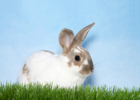 Cute tan spotted and speckled white baby rabbit sitting in tall grass facing viewers right. Profile view. Blue and white textured background Stock fotó
