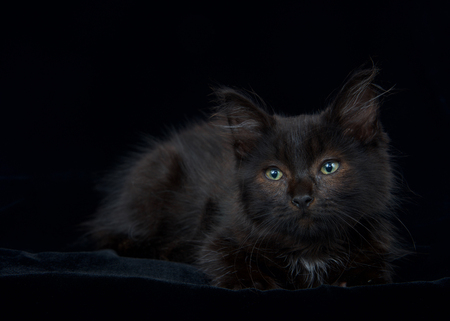 Portrait of a Black and chocolate brown long haired tabby kitten laying on black velvet blanket looking slightly to viewers left. Copy space.