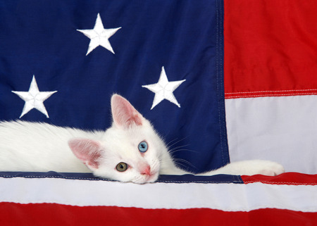 Small white tabby kitten with heterochromia eyes laying on an American Flag looking directly at viewer. Stars and stripes forever. Patriotic kitten Stock Photo