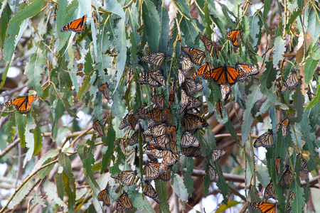 Many Monarch Butterflies in a Eucalyptus tree, wings fluttering. The monarch butterfly may be the most familiar North American butterfly and an iconic pollinator species.