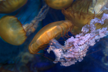 Sea Nettles, Chrysaora fuscescens, a common free-floating scyphozoan that lives in the East Pacific Ocean from Canada to Mexico