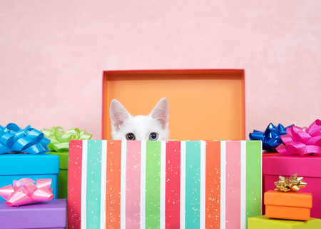 White kitten with heterochromia eyes, one blue one yellow green crouched down in a striped colorful birthday present box with bright presents festive bows surrounding. Pink background. Banque d'images - 116446145