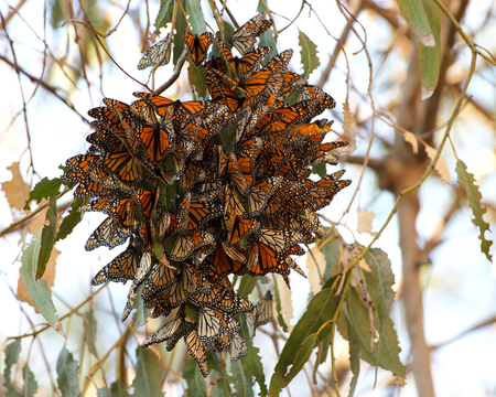 Monarch Butterflies in a Eucalyptus tree, clustering together to keep warm as the temps drop in evening. The monarch butterfly may be the most familiar North American butterflyand an iconic pollinator species.