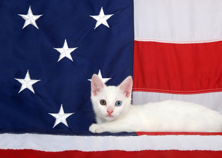 Small white tabby kitten with heterochromia eyes laying on an American Flag looking directly at viewer. Stars and stripes forever. Patriotic kitten Banco de Imagens