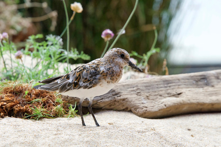 Least Sandpiper on a sandy beach with driftwood, flowers and shrubbery in the background