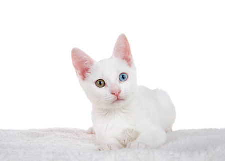 Portrait of a white kitten with heterochromia or odd-eyed laying on a sheepskin blanket isolated on white. An odd-eyed cat is a cat with one blue eye and one eye either green, yellow, or brown