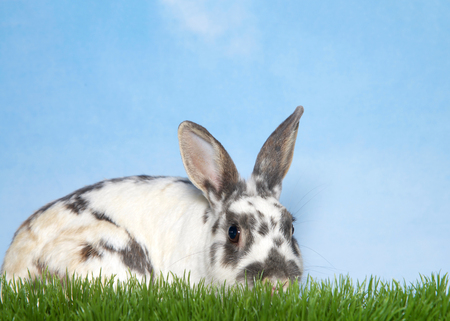 Gray spotted and speckled white baby rabbit laying in tall grass facing viewers right, profile view sniffing something in the grass. Blue and white textured background