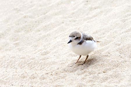 One Snowy Plover bird on a sandy beach Reklamní fotografie