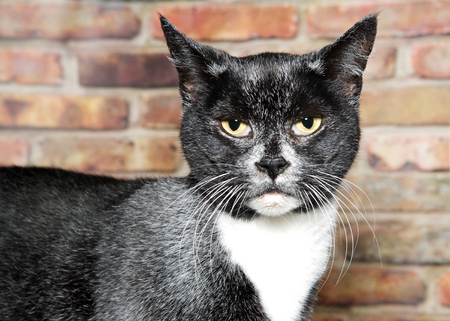 Portrait of a senior tuxedo cat black and white with gray throughout his fur looking at viewer with a critical expression. Brick wall in background Фото со стока