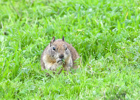 ground squirrel eating fresh green grass abundant after recent rains. The ground squirrel is known for its tendency to rise up on its hind legs whenever it senses nearby danger.