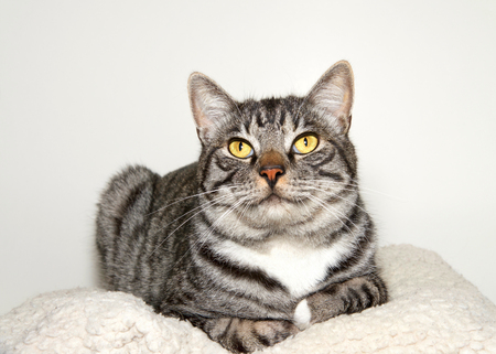 Black grey and white tabby cat sitting comfortably relaxed in a pet bed looking at viewer.