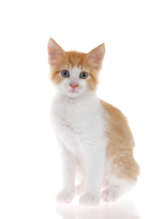 Orange and white tabby kitten sitting on slightly reflective surface looking at camera. Isolated on white background. 版權商用圖片