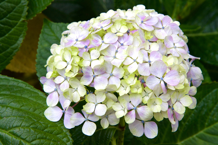 Cluster of purple, yellow and white Hydrangea surrounded by green leaves. Hydrangea has long been a popular flowering shrub. The flowers are considered by many as Grandmothers old-time flower.