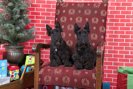 Two black bichon dogs sitting on Santa's old tattered chair next to a christmas tree, red brick background. Horizontal image.