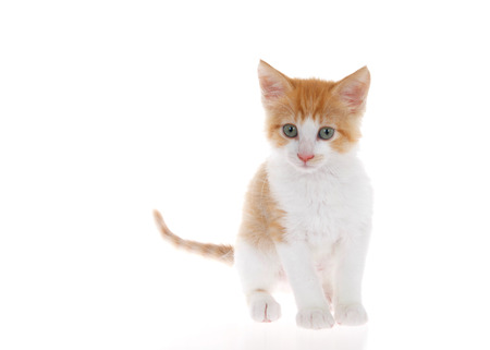 Orange and white tabby kitten standing on slightly reflective surface looking slightly to viewers left. Isolated on white background. Head slightly tilted as if curious, listening Stock fotó