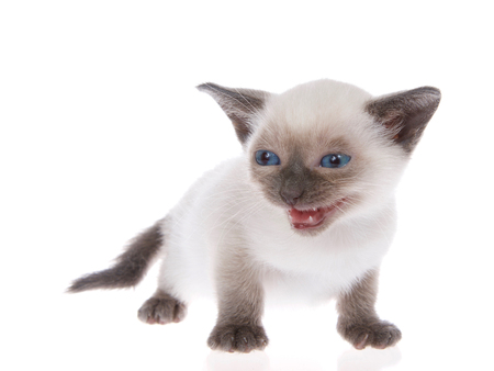 Young siamese kitten with munchkin characteristics, smaller than average, isolated on a white background. Standing, with blue eyes looking to viewers left, mouth open meowing, talking. Tail down. Stock fotó