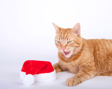 Orange tabby cat laying  next to santa hat with mouth open