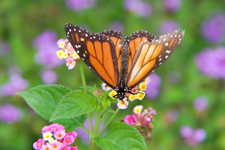 tattered Monarch butterfly on yellow and pink lantana flowers, drinking nectar. It may be the most familiar North American butterfly, and is considered an iconic pollinator species. Top view