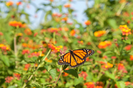 Monarch butterfly on orange lantana flowers, drinking nectar, flowers and blue sky in background. It may be the most familiar North American butterfly, and is considered an iconic pollinator species