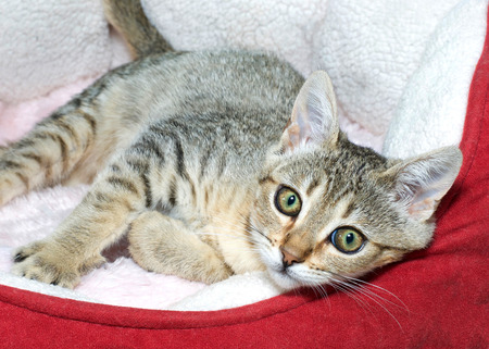 Three month old and brown gray and brown striped tabby cat laying sideways in red and cream colored bed. Looking at viewer.