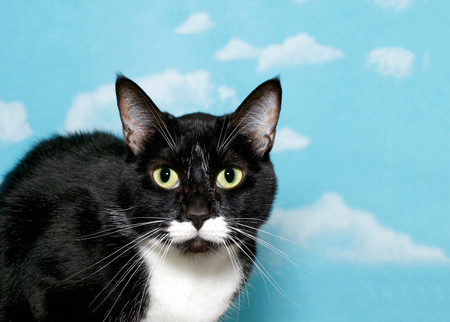 Black and white tuxedo tabby cat with green eyes, close up, blue background sky with white clouds. Cat crouched down looking directly at viewer. Copy space Foto de archivo
