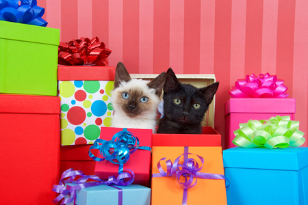 Black kitten with yellow eyes next to siamese kitten with blue eyes in red christmas present box, ribbons and bows on presents around them on a red striped background looking at viewer. copy space Stock Photo
