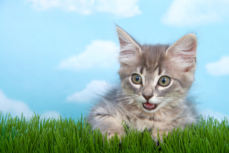 gray long haired tabby kitten with mouth open as if talking blue background white clouds