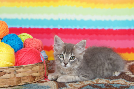 gray long haired tabby kitten laying on colorful carpet floor, bright striped background, balls of yarn in a basket.