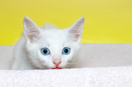 six week old white kitten with beautiful blue eyes laying on a light purple blanket with yellow background. Waiting. Watching. Crouched down ready to pounce