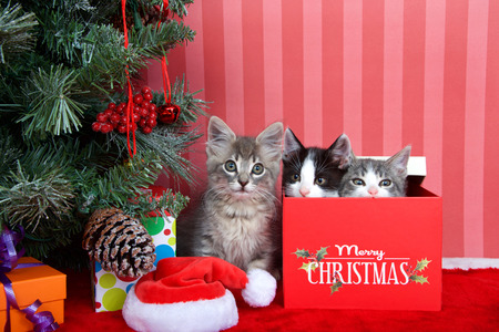 Gray tabby kitten next to a christmas tree with presents on red fuzzy floor, striped red and off white background, two kittens peaking out of present box next to him. Friends for Christmas