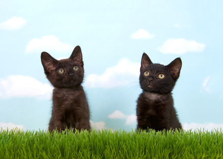 Close up of two 6 week old black kittens in tall grass with blue sky background white clouds. copy space. Foto de archivo