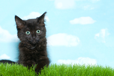 Close up on all black long haired fuzzy kitten with green eyes playing in long grass, blue sky background with white clouds. Copy Space