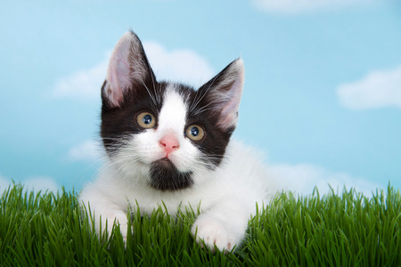 black and white  tabby kitten in tall grass with blue sky background white fluffy clouds.