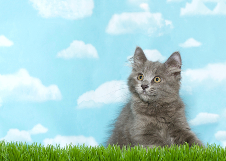 Fluffy gray kitten crouched in tall grass looking to viewers left, blue sky background with clouds. Copy Space. Banque d'images - 117129062