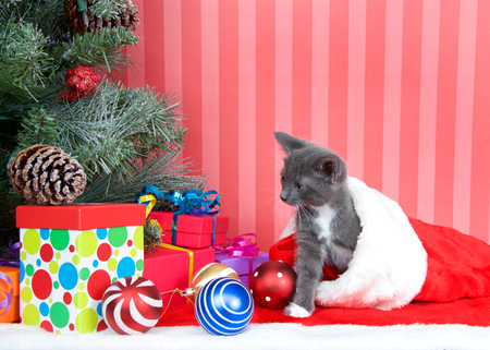Gray kitten coming out of a red stocking next to a christmas tree with presents and ornaments strewn around the floor, on red fuzzy floor, striped red and off white background