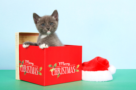 gray and white tabby kitten in a red Christmas box next to a small santa hat on green table with light blue background